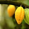 Extracto de Cacao en aceite o manteca