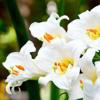 Lirio blanco, flor de lis